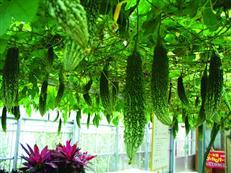 ゴーヤーパークの水耕栽培見学農場の画像