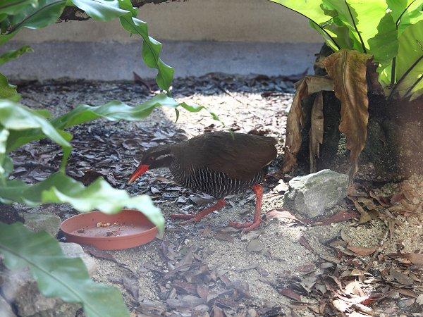 国際種保存研究センターで保護されるヤンバルクイナ